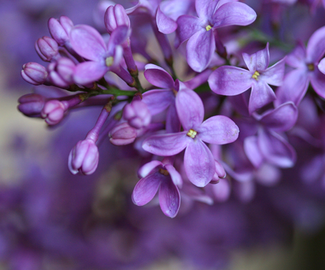 Dark_lilac