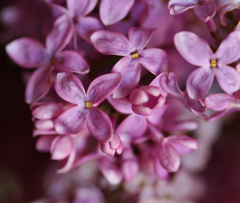 Light_lilac